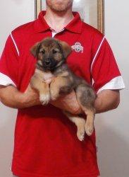 ... ://www.dogpawscattails.com/adopt-zoey-norwegian-elkhoundshepherd-mix